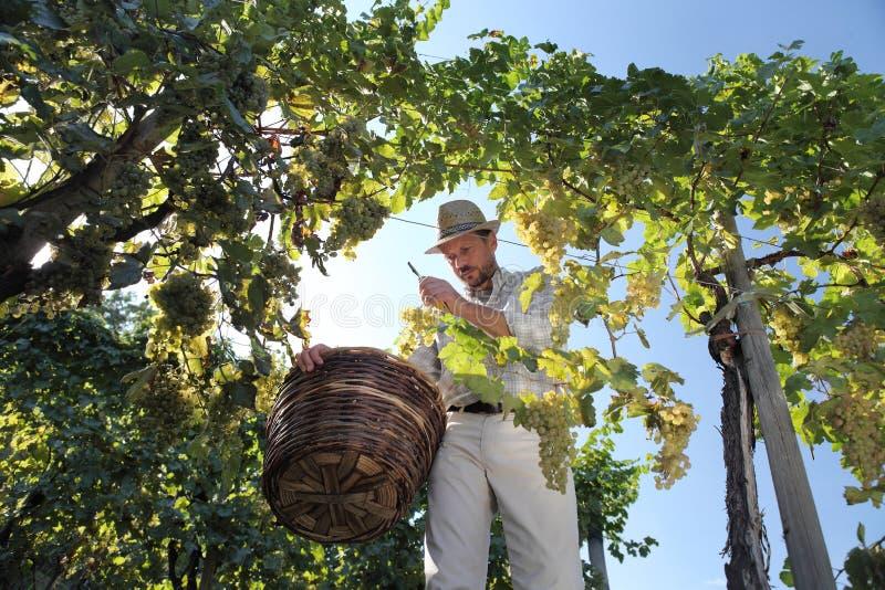 Weinlese-Arbeitskraft, die weiße Trauben von den Reben mit Flechtweide schneidet lizenzfreie stockbilder