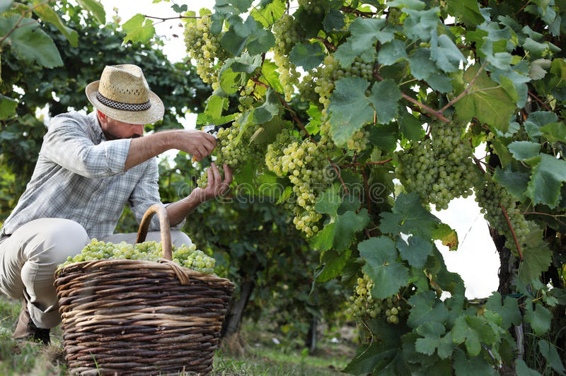 Weinlese-Arbeitskraft, die weiße Trauben von den Reben mit Flechtweide schneidet lizenzfreies stockfoto