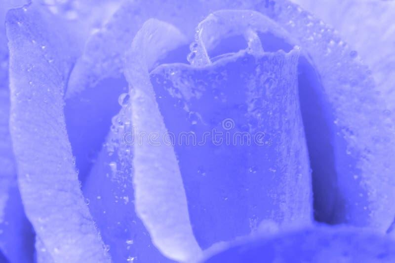 Weinlese-Blume stieg mit Wassertropfen, schließen herauf Detail stockfotografie