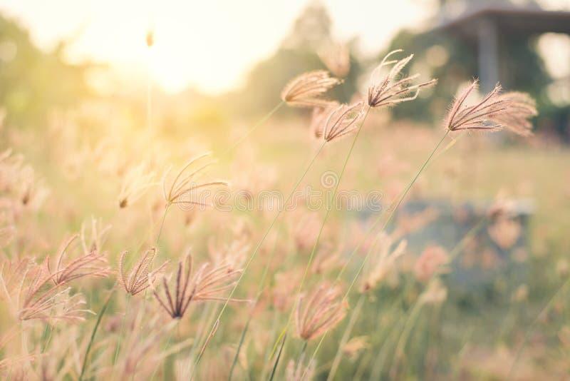 Weinlese der schönen Blume haben Weichzeichnung am Sonnenunterganghintergrund stockbild