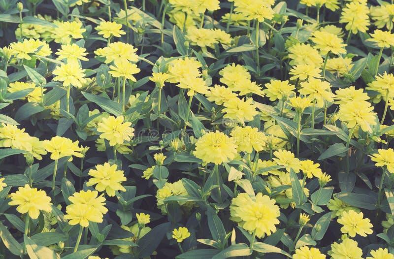 Weinlese gelbes Zinnia-Blumen-Feld lizenzfreie stockfotos