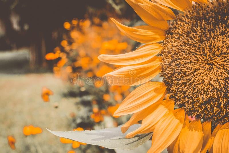 Weinlese-Sonnenblumen, die blühenden Sonnenblumen, färbt Blumen, Sonnenblumenfeld gelb lizenzfreies stockbild