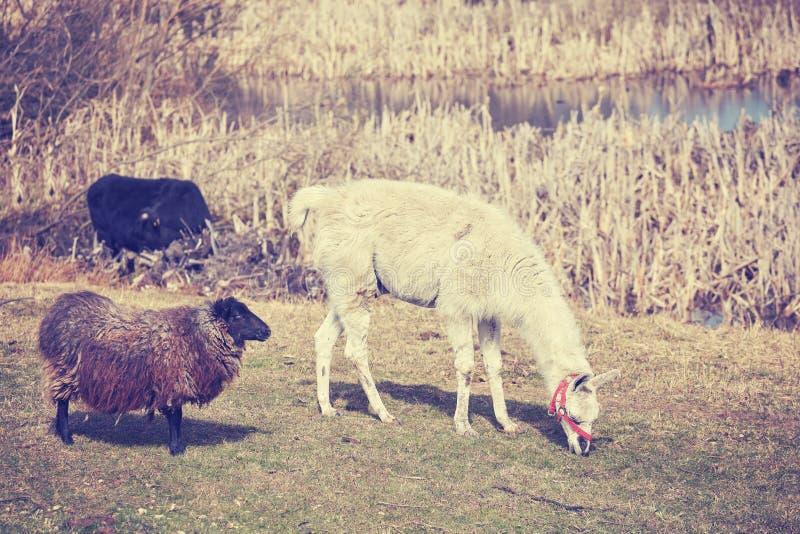 Weinlese tonte Lama und Schafe auf einer natürlichen Weide lizenzfreies stockfoto