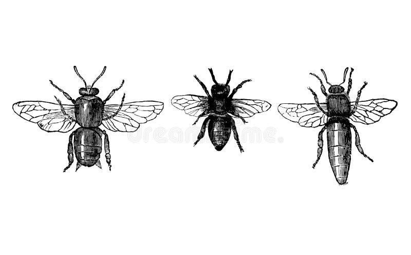 Weinlese-Vektor-Zeichnen oder antike gravierende Illustration von Honey Bee- oder Honigbienen-Drohne, von Arbeitskraft und von Kö vektor abbildung