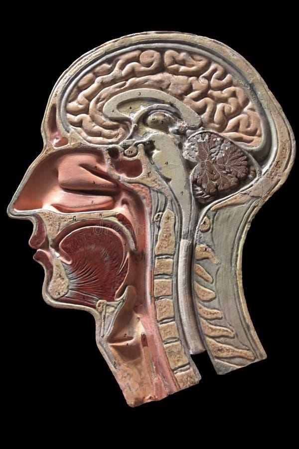 Weinleseanatomiemodell des menschlichen Kopfes lizenzfreie stockfotos