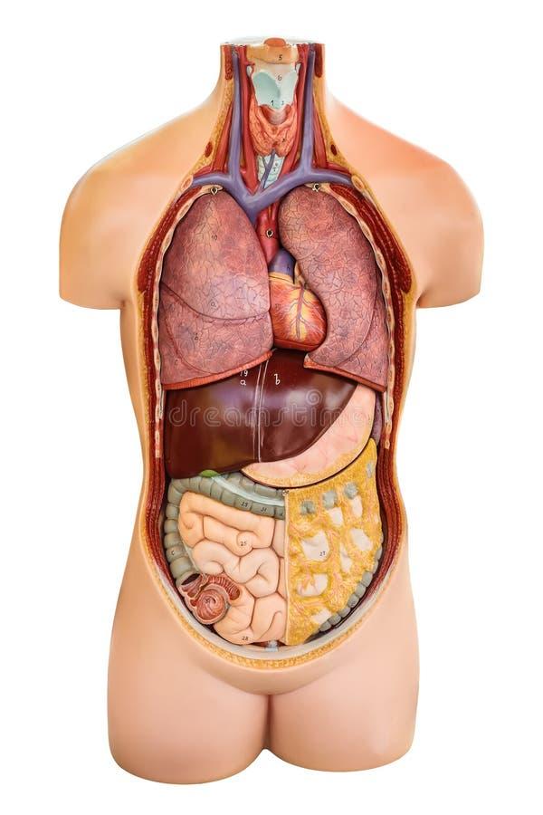 Weinleseanatomiemodell mit Organen zeigte lokalisiert auf Weiß an lizenzfreie stockfotografie