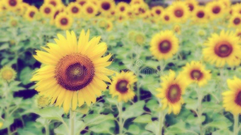 Weinleseart-Unschärfehintergrund der Sonnenblume stockfotos
