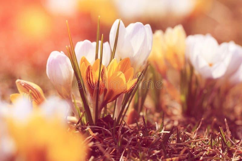Weinleseblickfoto des Frühlinges blüht Krokusse Vertikales Foto lizenzfreie stockbilder