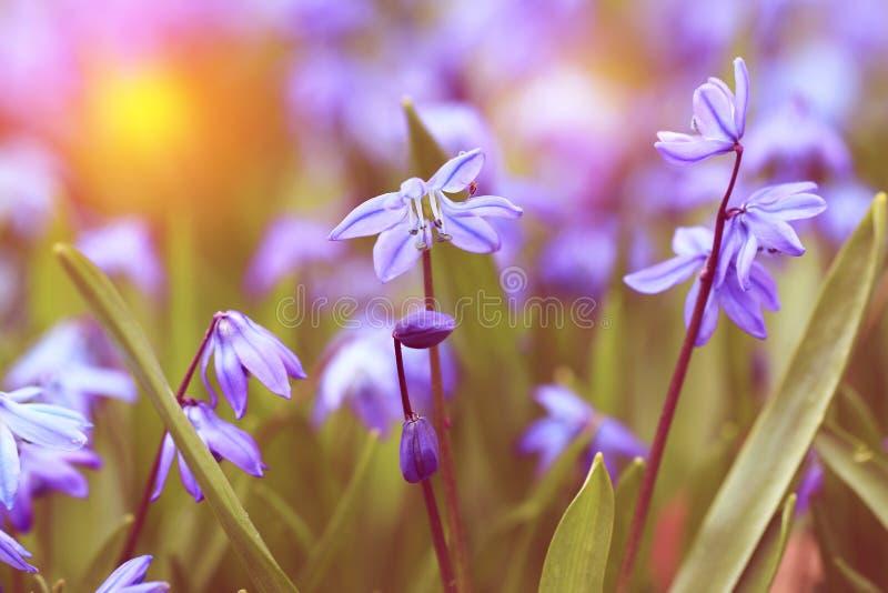Weinleseblickfoto von blauen Frühlingsblumen lizenzfreies stockbild