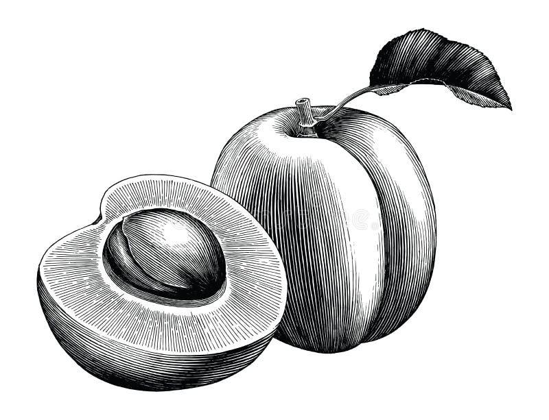Weinleseclipart des Aprikosensammlungshandabgehobenen betrages lokalisiert auf Weiß stock abbildung