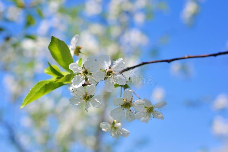 Weinlesefoto von Kirschbaumblumen stockfotografie