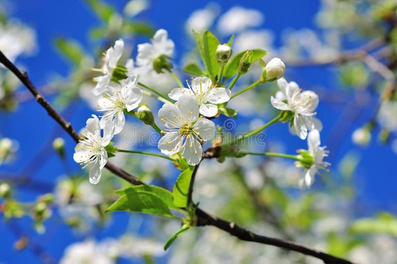 Weinlesefoto von Kirschbaumblumen lizenzfreie stockfotos