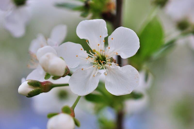 Weinlesefoto von Kirschbaumblumen stockfoto