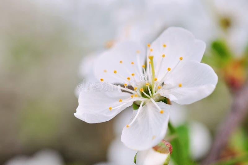 Weinlesefoto von Kirschbaumblumen lizenzfreie stockbilder