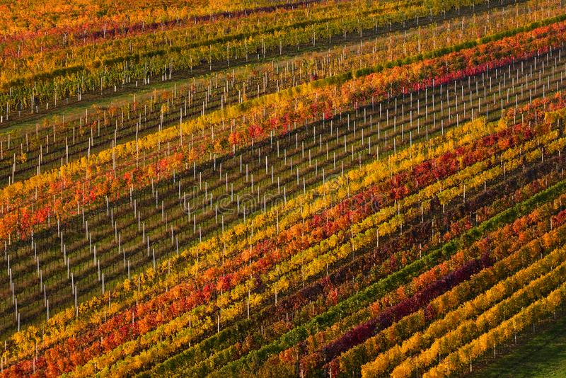 Weinproduktion in Europa Geometrisch lokalisierter mehrfarbiger Autumn Rows Of Vineyards Abstrakter Hintergrund mit Autumn Colorf stockfoto