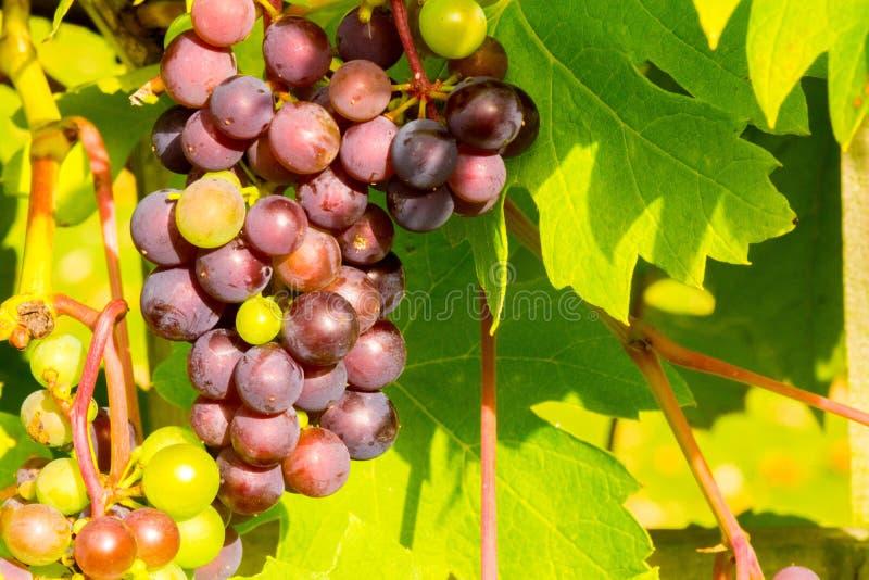 Weinrebe, Weintraube lizenzfreie stockbilder