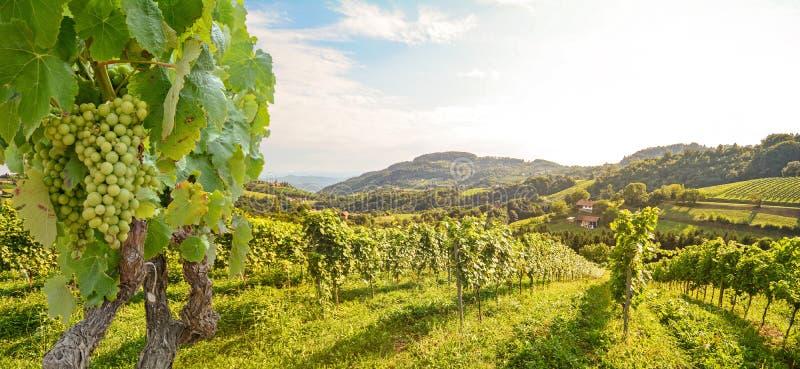 Weinreben auf einem Weingarten mit weißen Weintrauben im Sommer, hügelige Landschaft in der Nähe von Weinkellerei an der Weinstra stockfotografie