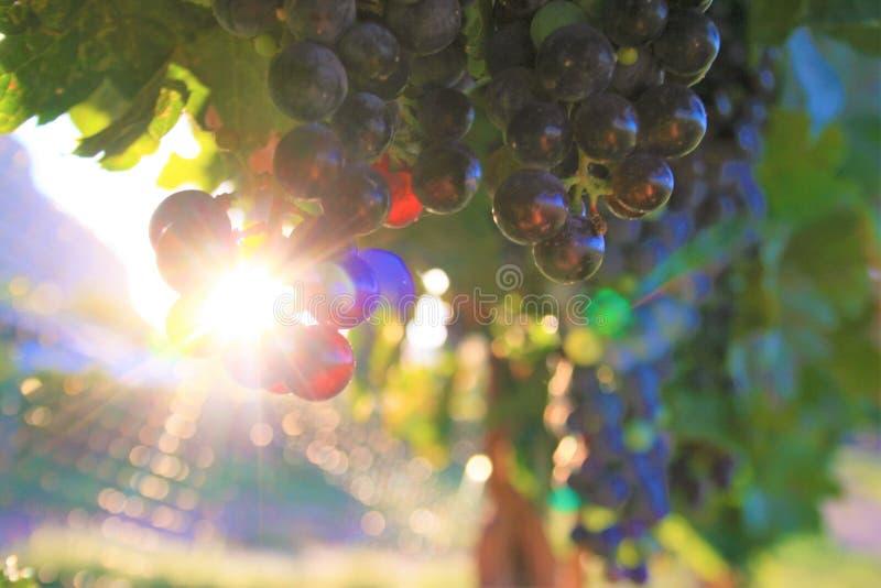 Weinreben bei Sonnenaufgang oder Sonnenuntergang lizenzfreie stockfotografie