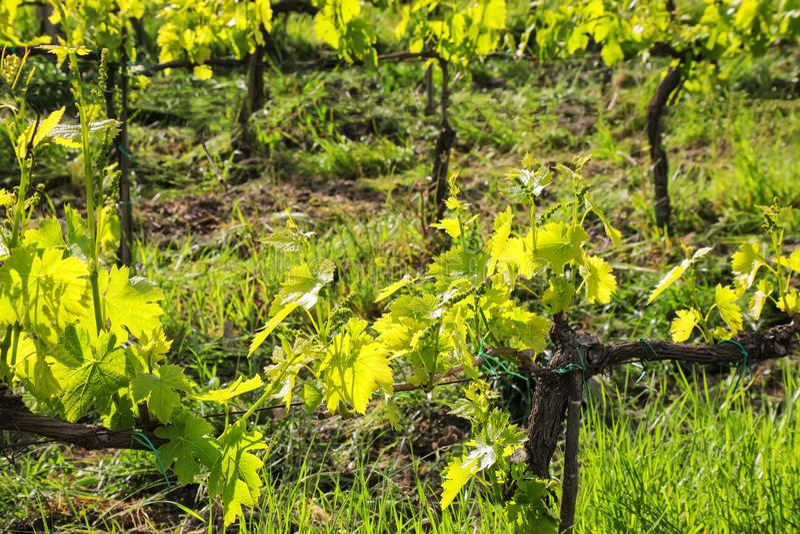 Weinreben in einem Weinberg nahe Montalcino, ` Orcia, Toskana Val d, stockfotografie
