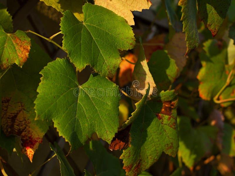 Weinstock an der Herbstsonne lizenzfreie stockfotografie