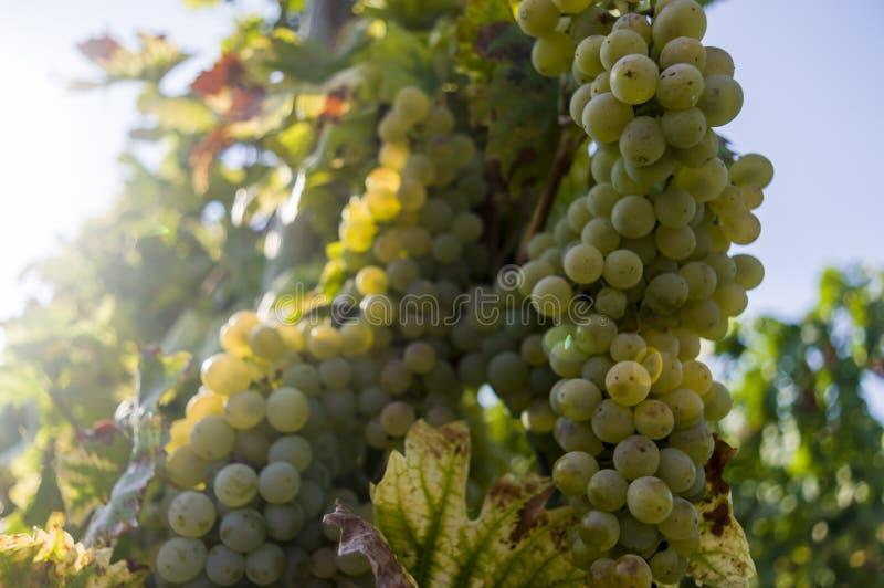 Weinstock mit hellen Trauben und den Beeren hintergrundbeleuchtet durch die Sonne lizenzfreie stockfotos