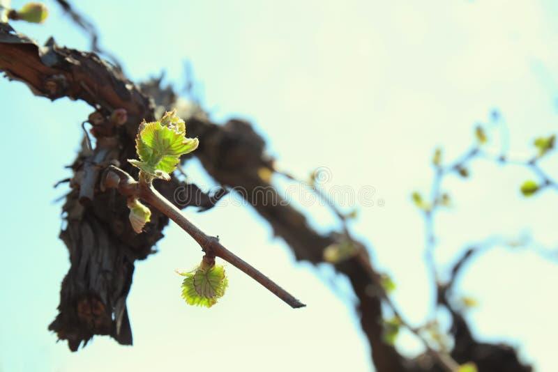 Weinstock mit jungen Blättern am sonnigen Frühlingstag stockfotos