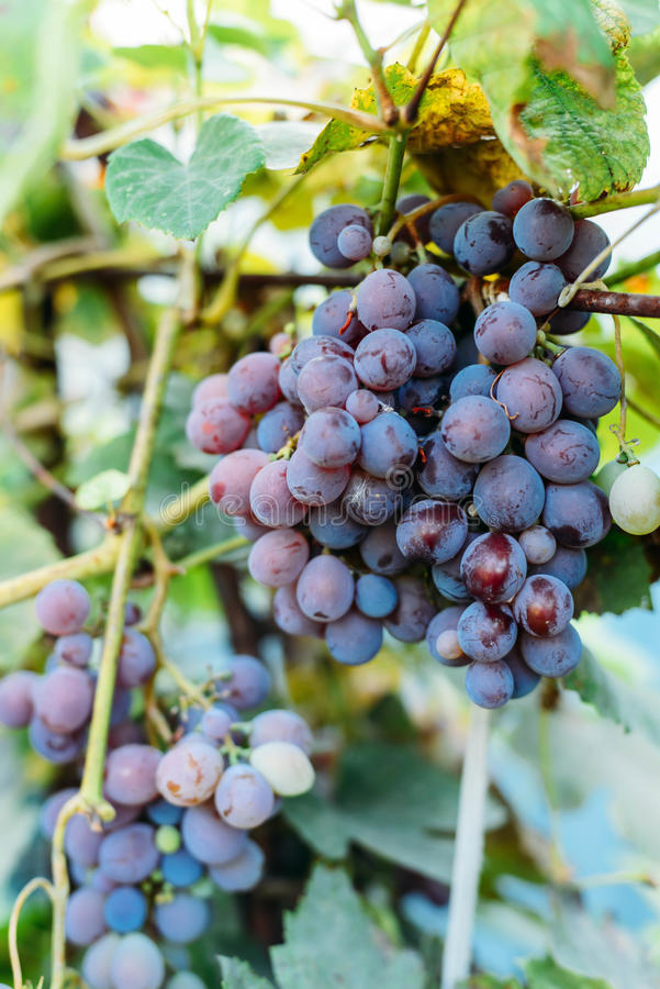 Weinstock mit purpurroten Trauben Bündel des reifenden Traubenhängens lizenzfreie stockfotografie