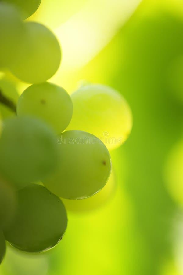Weintraube lizenzfreies stockfoto