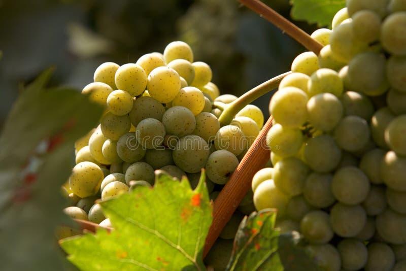 Weintraube auf der Rebe lizenzfreies stockfoto