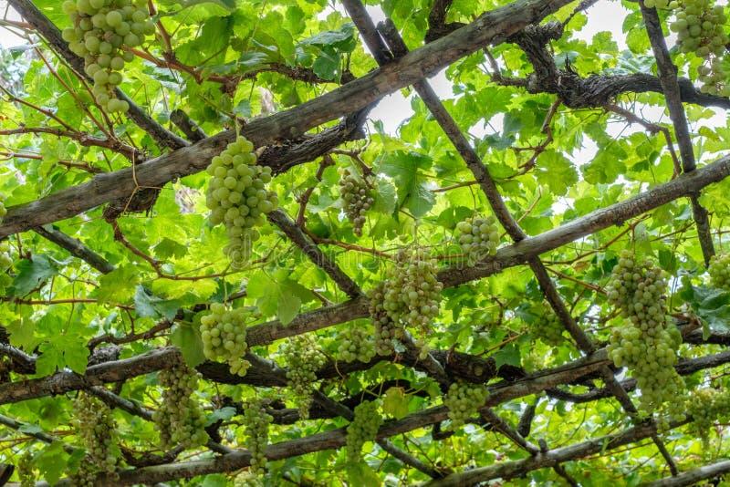 Weintraube auf der Rebe/Weinstock, die an den Holzbalken hängen - stockbilder