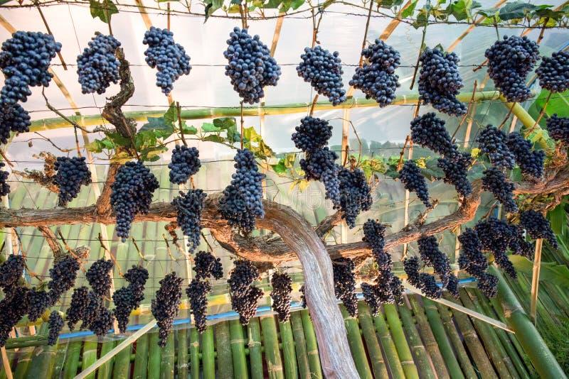 Weintraube auf einer Rebe stockbilder