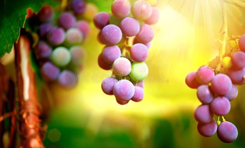 Weintraube auf Weinstock stockfoto