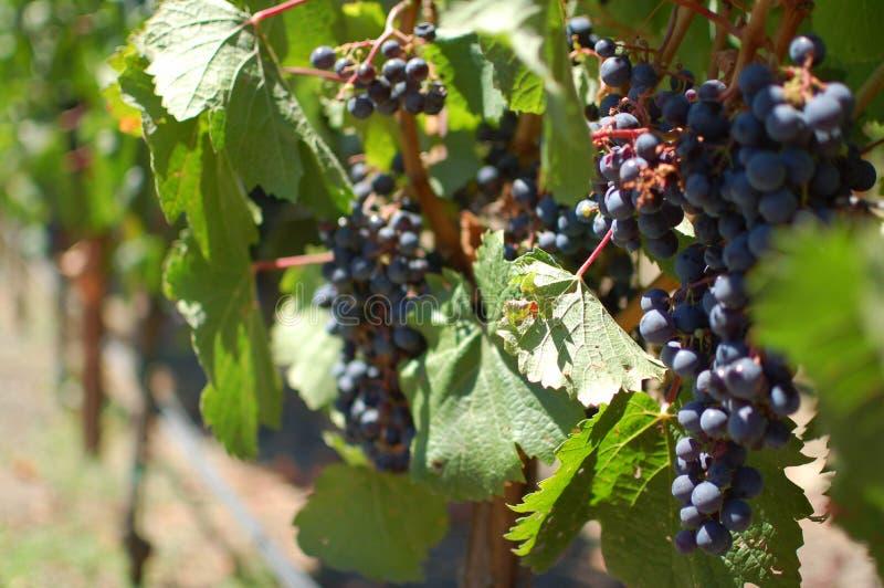 Weintrauben   lizenzfreies stockbild