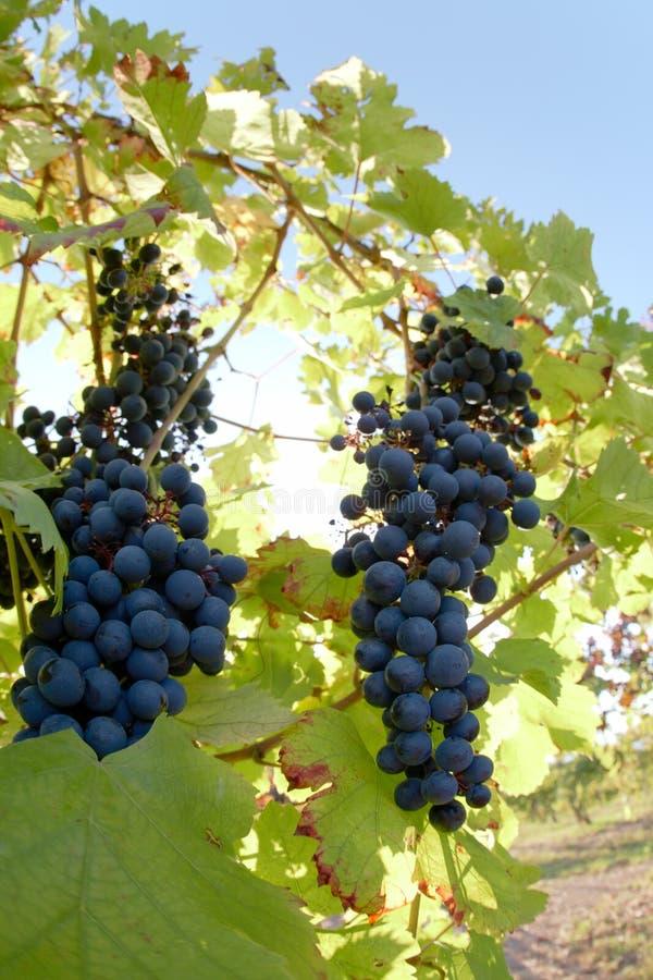 Weintrauben stockfotos