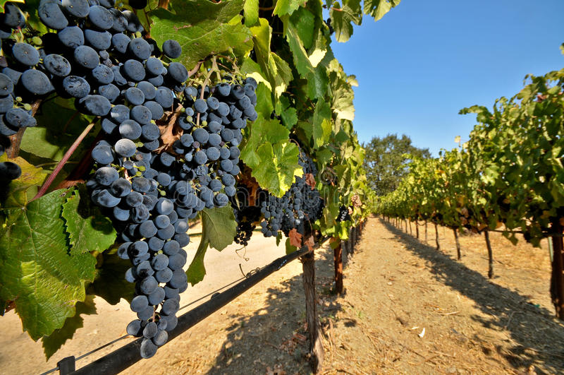 Weintrauben auf der Rebe auf einem Gebiet stockbilder