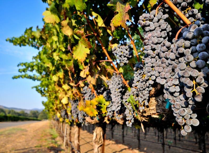Weintrauben auf der Rebe auf einem Gebiet stockfotos