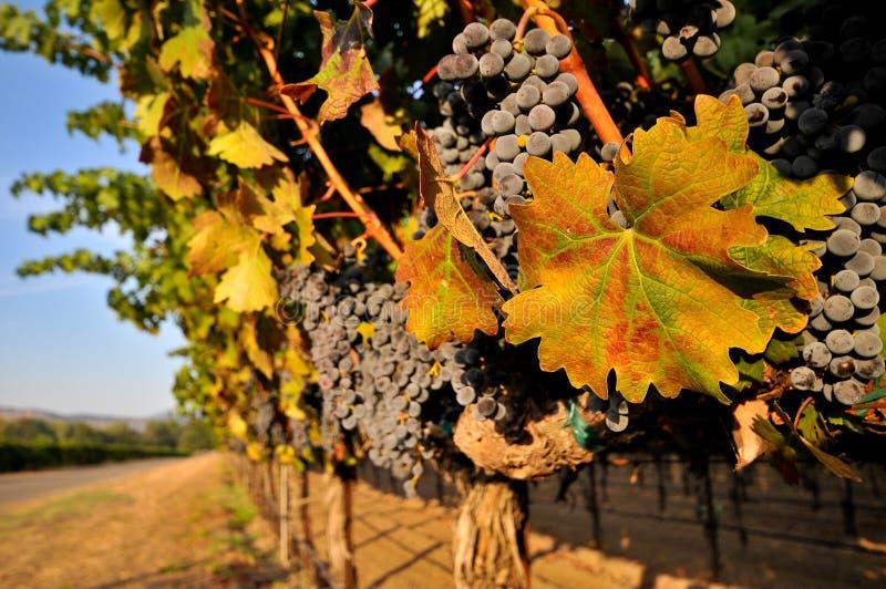 Weintrauben auf der Rebe auf einem Gebiet lizenzfreie stockfotografie