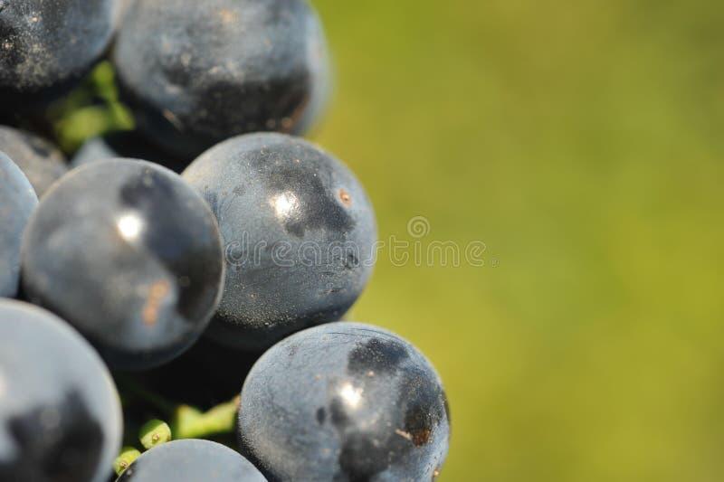 Weintrauben, die auf der Rebe wachsen lizenzfreie stockfotos