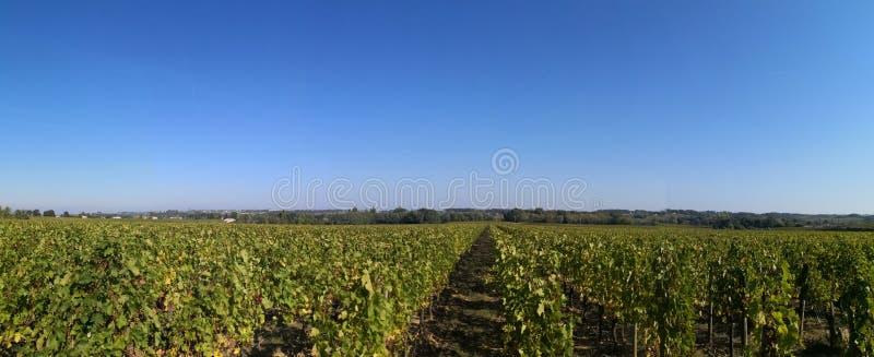 Weinweinberg Bordeauxpanoramablick von Trauben auf Rebe stockfotografie