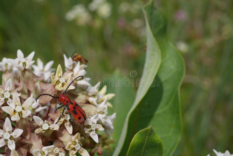 Weird Red Beetle with Black spots on little white Flowers royalty free stock photography