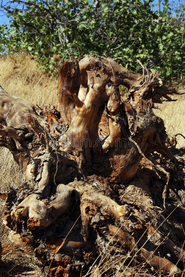 Download Weird shaped root stock image. Image of wooden, funny - 3233213