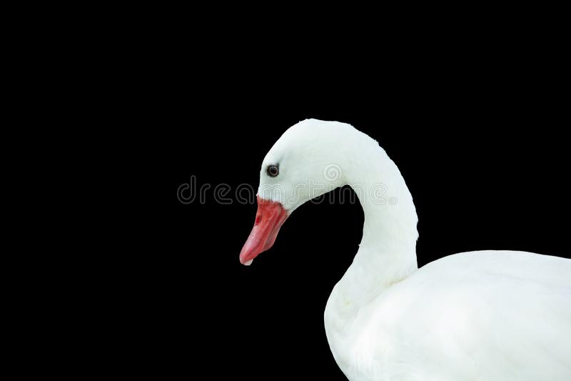 Weird white duck with an orange beak. Strange white duck with an orange beak in profile view. Side view of this duck with a strange look royalty free stock images