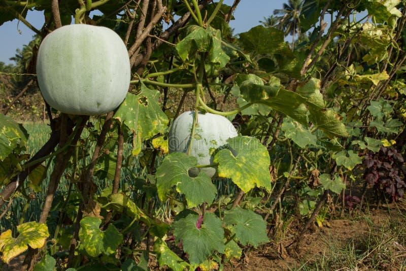 Weisen des wachsenden grünen Kürbises hecke stockbild