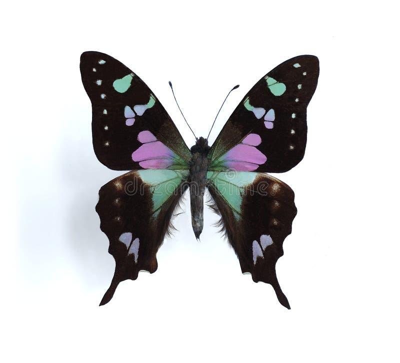 Weiskei de Graphium (Swallowtail repéré pourpré) photographie stock libre de droits