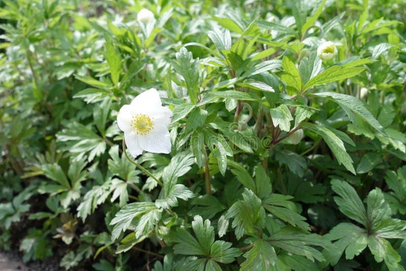 Weit geöffnete weiße Blume der Anemone lizenzfreie stockbilder