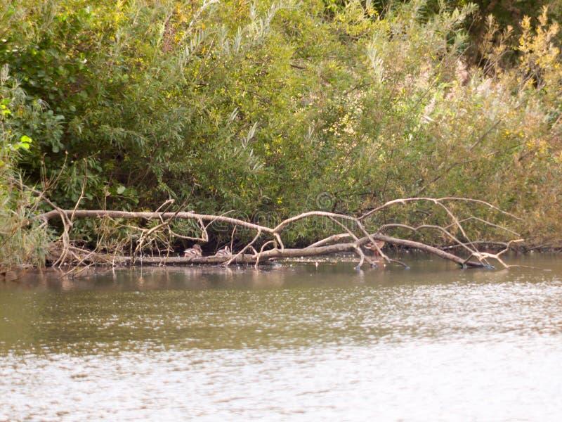 Weit weg von den Stockenten, die auf einem gefallenen Baum in Seeoberfläche w stillstehen stockfotografie