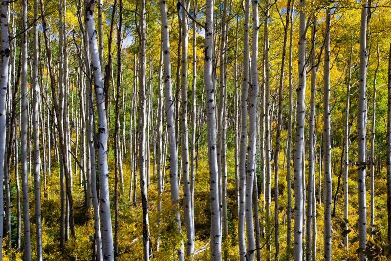 Weitwinkel-Aspen Grove stockbilder