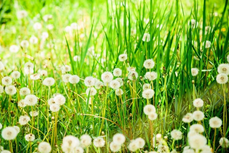 Weitwinkelansicht vom Gras Fr?hlingsblumen des L?wenzahns field Fr?hlingshintergrund mit wei?em L?wenzahn seeds Flaumige Löwenzah lizenzfreie stockbilder