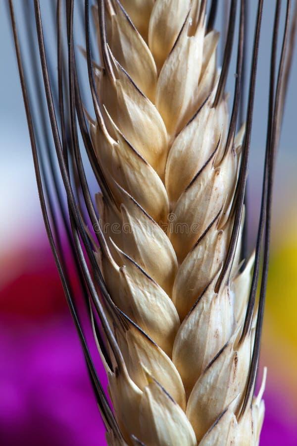 Weizenähremakrodetails lizenzfreie stockfotos