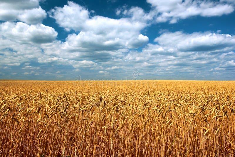 Weizenähren auf einem Feld gegen Hintergrund des blauen Himmels lizenzfreies stockfoto